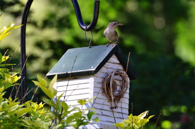house-wren